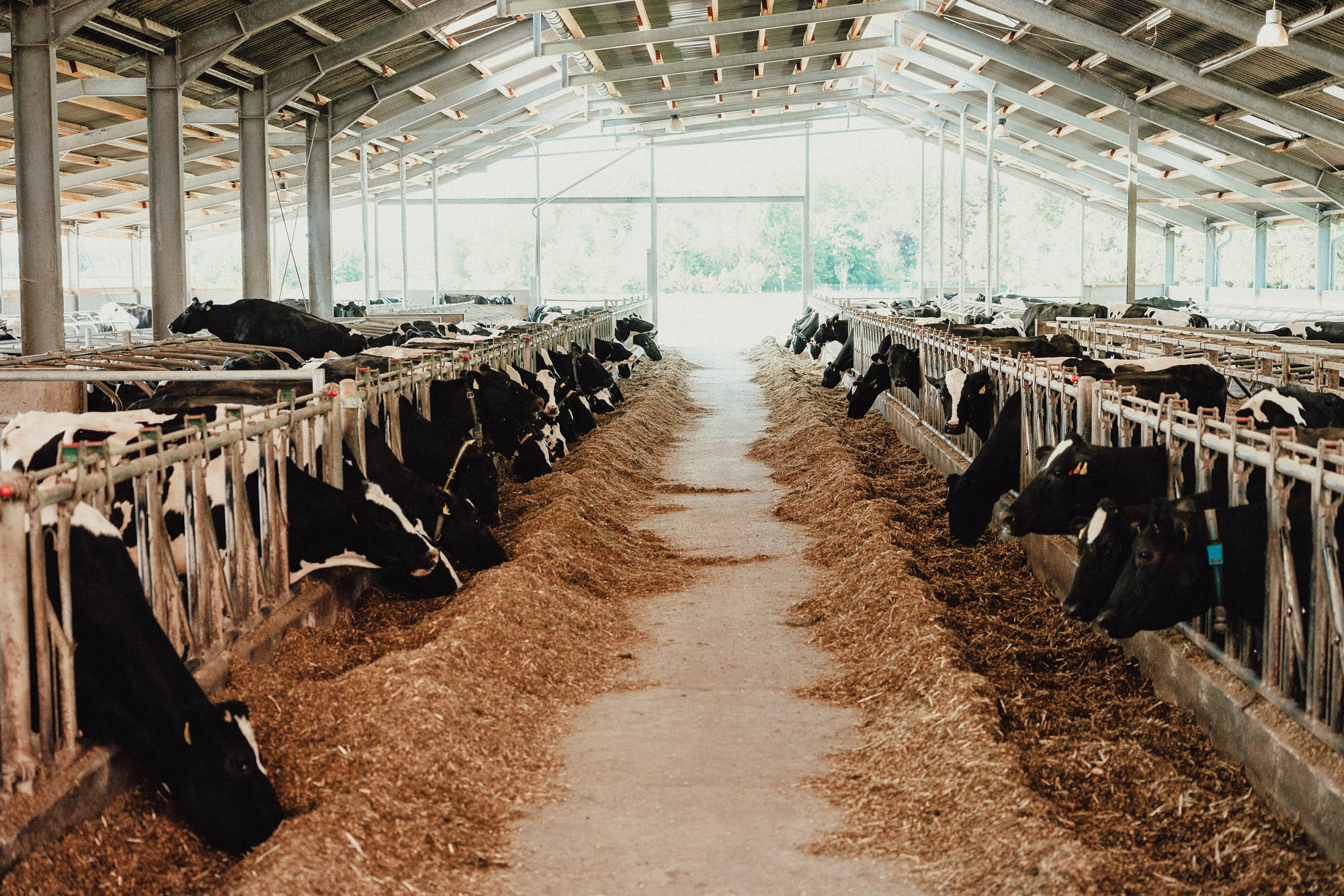 Blick in den Kuhstall