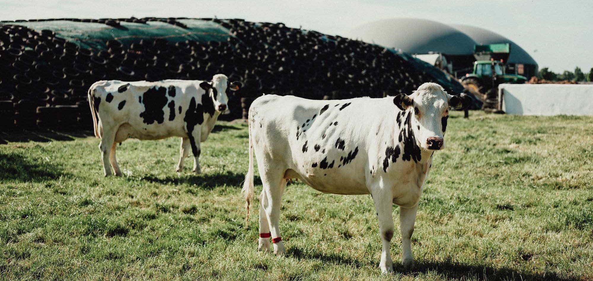 Holstein-Friesian-Milchkühe vor Biogasanlage und Silage