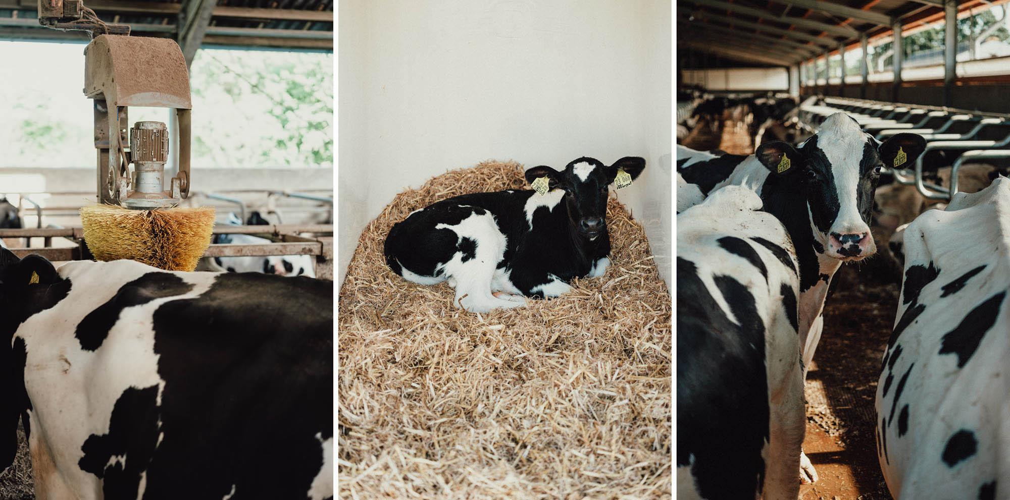 Holstein-Kühe